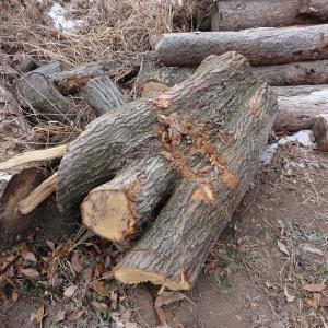 三又の楢の木