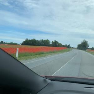 デンマーク ポピー畑
