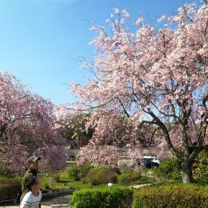 ぎふ清流里山公園は、桜が凄くて入場無料!さらにアクティビティも大満足♪