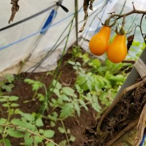 ほおずきトマトとピッコロカナリア