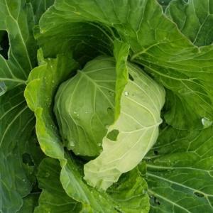 キャベツと白菜の生育状況