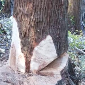 仏像の原木となるヒバの大木を切り倒した動画