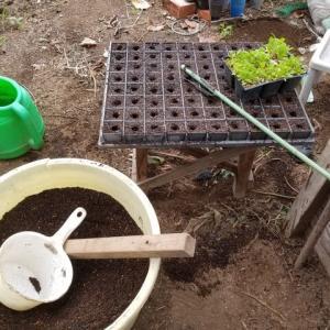 レタスの苗木の移し替え