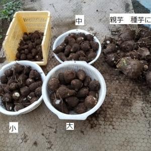サトイモ(土垂)を収穫する