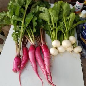 本日の野菜の収穫