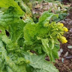 花茎蕾を食べる野菜