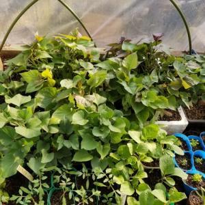 サツマイモの苗が順調に生育している