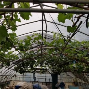 5月のブドウの生育状況