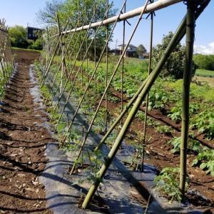 トマト露地栽培