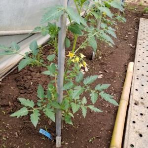 ミニハウスでのトマトの実験栽培開始