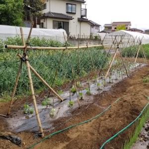 ナス、ピーマンの三角仕立て栽培