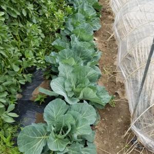 キャベツの繋ぎ栽培