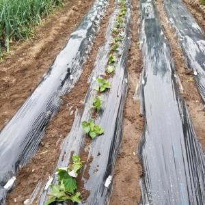 サツマイモの苗取りと植え付けの様子