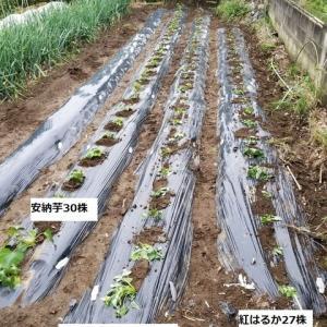 シルクスウィートと紅はるかの苗を植え付けた