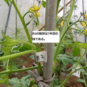 トマトの垂直仕立ての縛り方 6本仕立て栽培