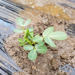 落花生を定植した。
