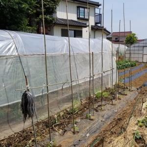 トマトの垂直仕立て栽培 露地で再挑戦