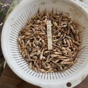 自家採種 大根、絹さや、スナックエンドウ