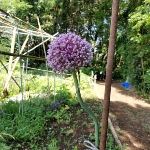 ジャンボニンニクの花  紫色で綺麗