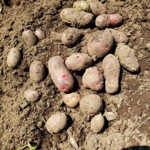 ジャガイモの収穫と保管場所の整理