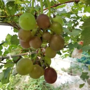 ハウスブドウの色付き状況と過去の色付き時期との比較