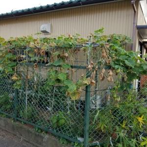 妻の超ミニ菜園 今年は長雨に負けてしまった感じだ。