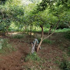 ミニ果樹園の除草