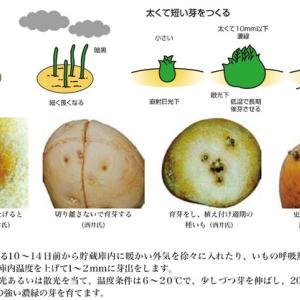 ジャガイモの休眠期と萌芽時期