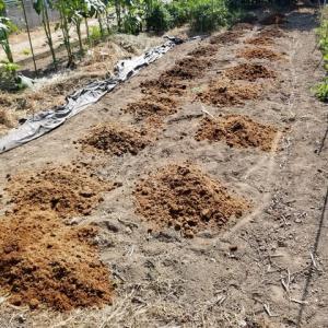 堆肥を撒き、管理機で耕運した。