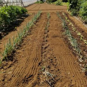 ネギ畝の除草を兼ねて耕運した。