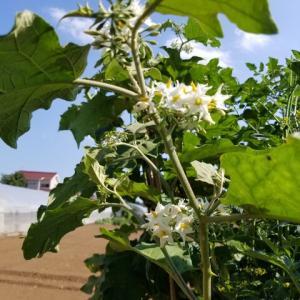 茄子の台木 トリバムビガーの開花
