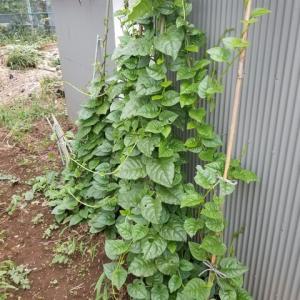 ツルムラサキの作付けと栽培法