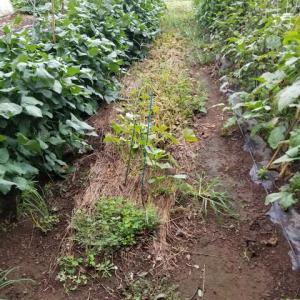 七夕きゅうりが終わり、畝を耕した。