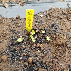 先日種を蒔いた葉物野菜が発芽した。