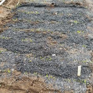タマネギ中晩成種も、モグラに荒らされた。