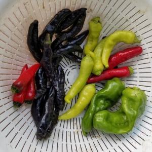 野菜の収穫  ピーマン シシトウ  ナス  サトイモ