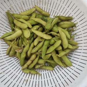 丹波の黒大豆 枝豆の収穫