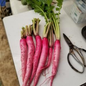 野菜とミカンの収穫
