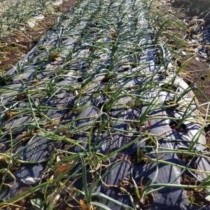 施肥基準と鶏糞の多量施肥栽培