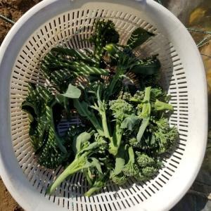 茎ブロッコリーの収穫
