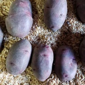 種ジャガイモ