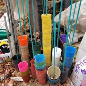 カラーポリポット ナス台木の発芽状況