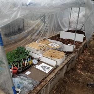 温床 トマトの台木と穂木の催芽処理を行った。