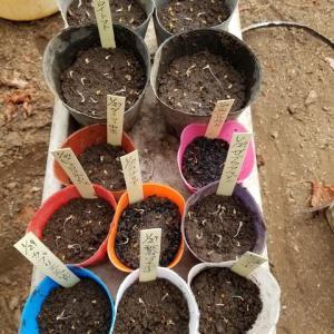 温床  トマトが3日目でほぼ発根した。