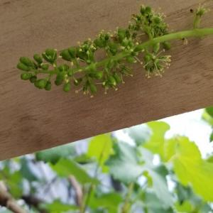 ブドウ 房作り終わる