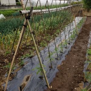 露地栽培のトマトの生育状況