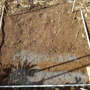 ゴボウの2段立体栽培 種を蒔いた。