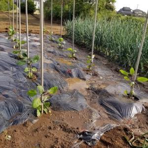 ナスの畝作りと定植