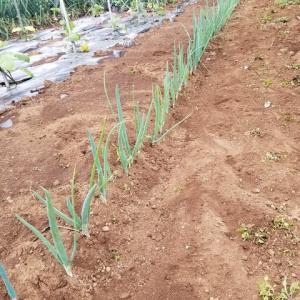 草取り   トウモロコシとネギ