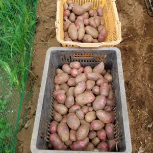 本命ジャガイモの収穫 グランドペチカ ながさき黄金